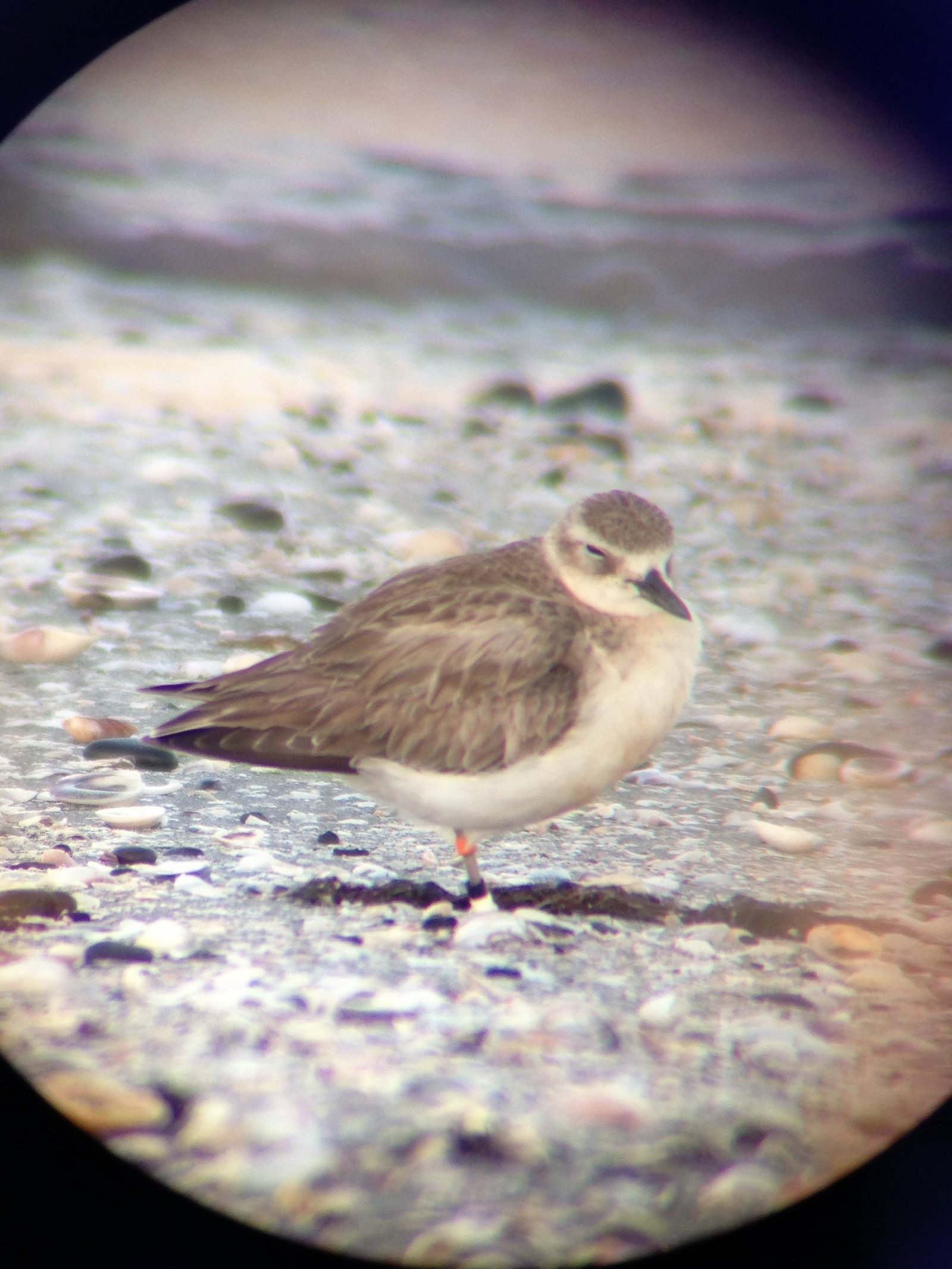 Northern NZ dotterel M-OKW having a wee snooze. Taken with my phone through the telescope.