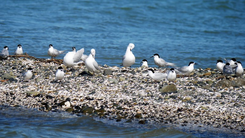 Black-billed gulls roosting along white-fronted terns