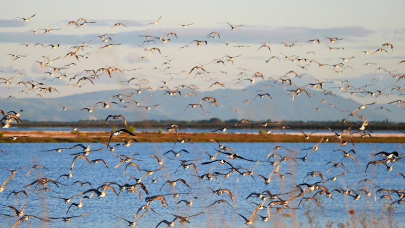 Godwits and pied stilts on the move