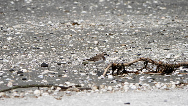 A lonely lesser sand plover