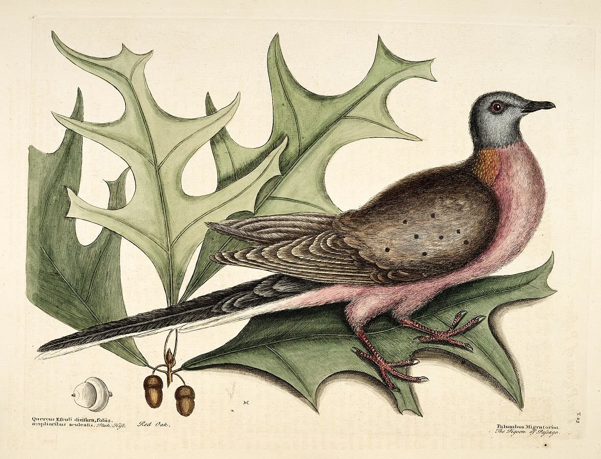 Illustration of a male passenger pigeon by Mark Catesby, 1731
